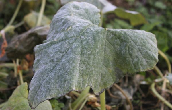 Мучнистая роса на листе огурца