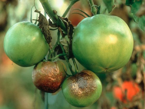 Тепличный помидор заражен фитофторой
