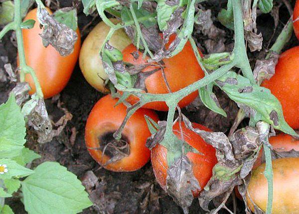 Признаки вершинной гнили томатов