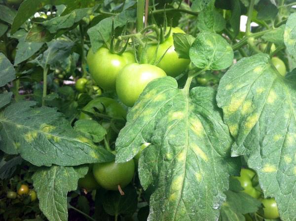 Вирусная мозайка парниковых помидор