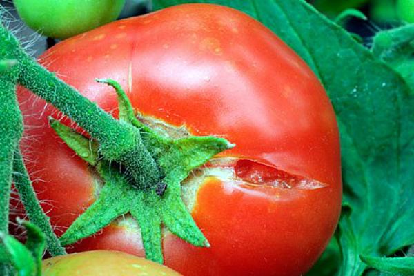 Растрескивание помидор из-за избытка влаги