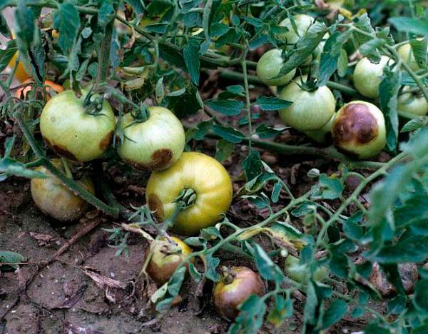 Пораженным фитофторой томатам срочно нужно лечение