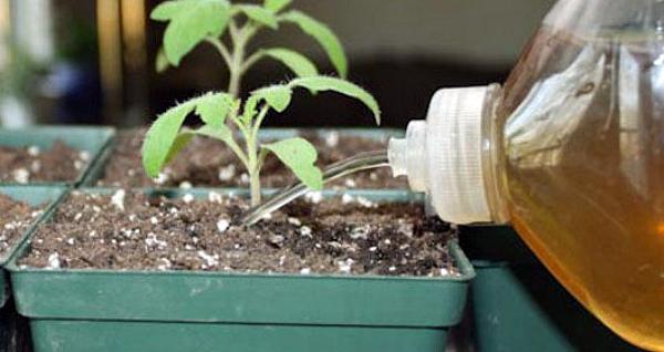 Полив рассады томата йодным раствором
