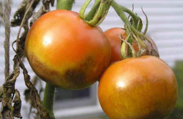 Уберечь растения от фитофторы можно и с помощью народных средств