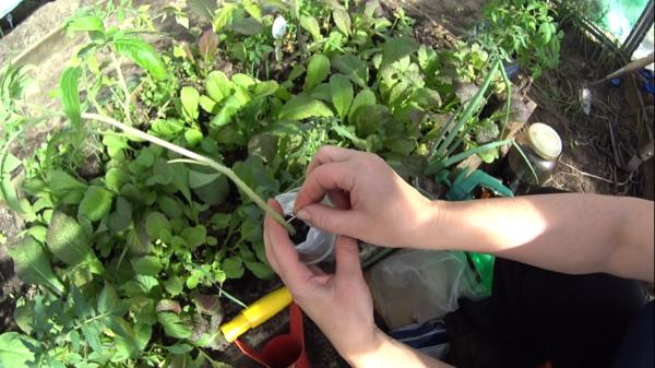 Во избежание заболевания фитофторозом томаты следует регулярно подкрамливать