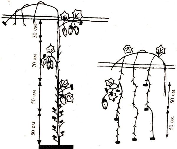 Формирование огуречного куста в теплице