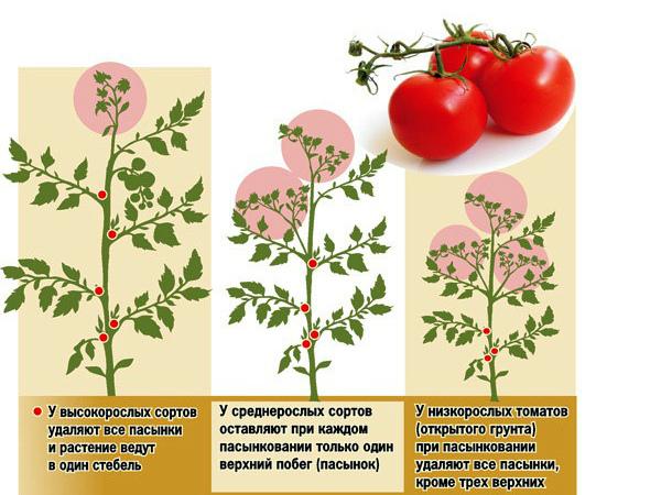 Особенности пасынкования различных видов томатов