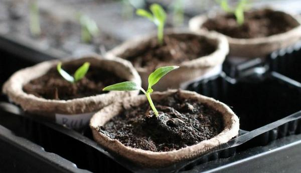 Появление первых ростков перца