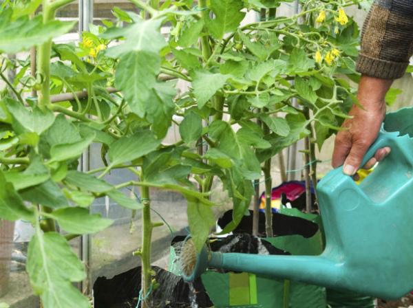 Внесение удобрений для огурцов под корень