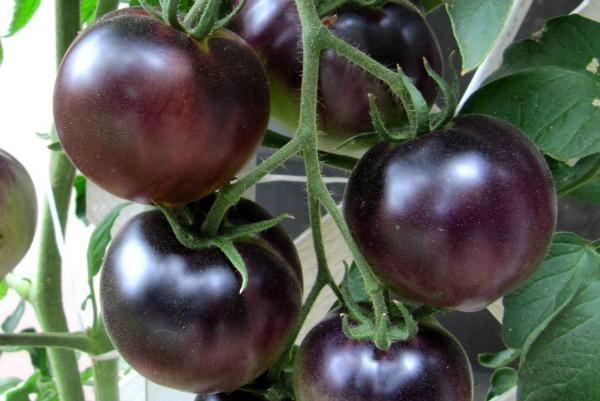Сорт фиолетовых помидор очень напоминает крыжовник