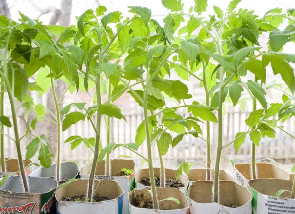 С целью более быстрого роста, используются специальные вещества для рассады