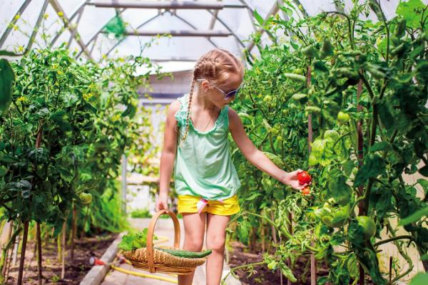 Нежелательное соседство огурцов и томатов в теплице