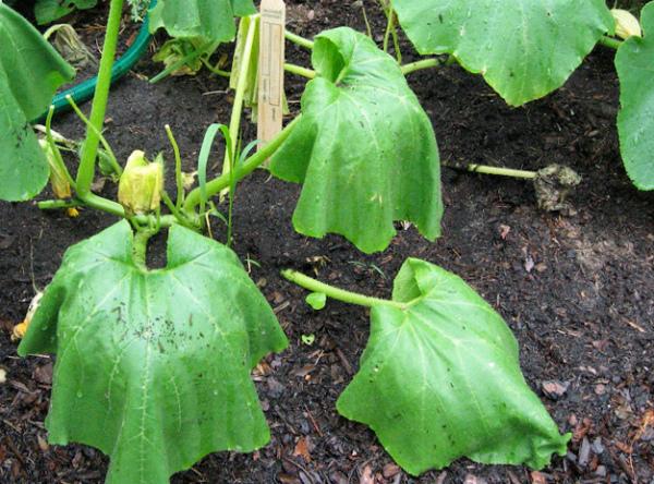 Листья огурцов завяли из-за загнивания корней