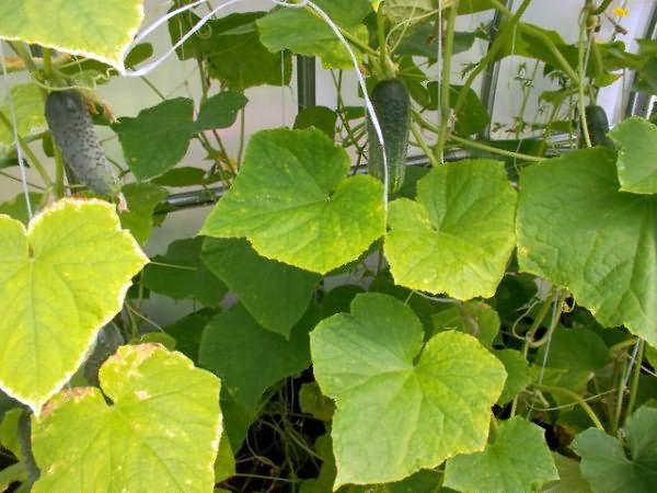 Пожелтение огуречных листьев в теплице при температуре +28 градусов
