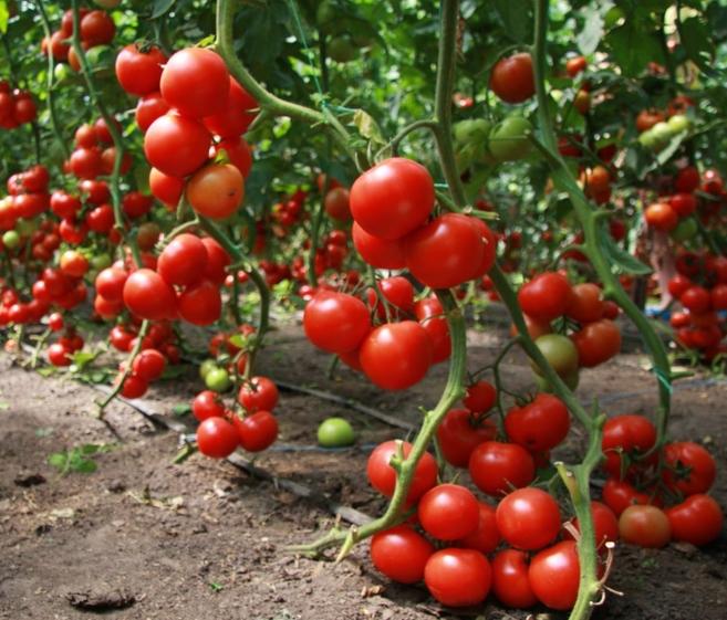 Богатый урожай томатов в теплице