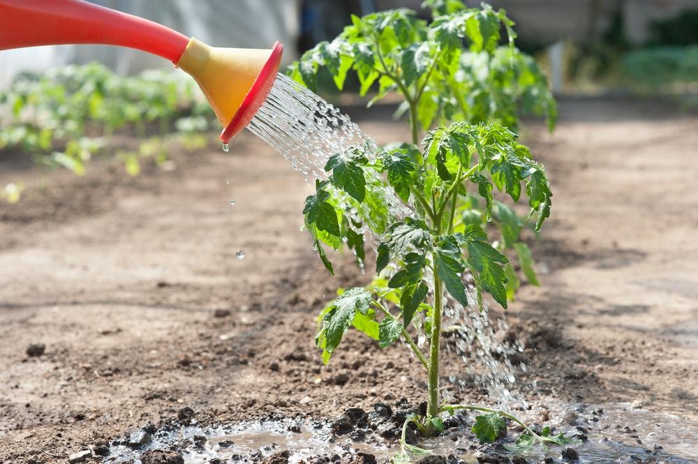 Полив помидоров на грядке