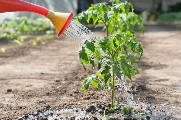 Фото процесса полива томатов