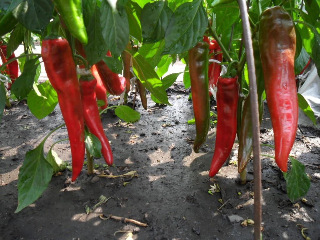 Красный перец в открытом грунте