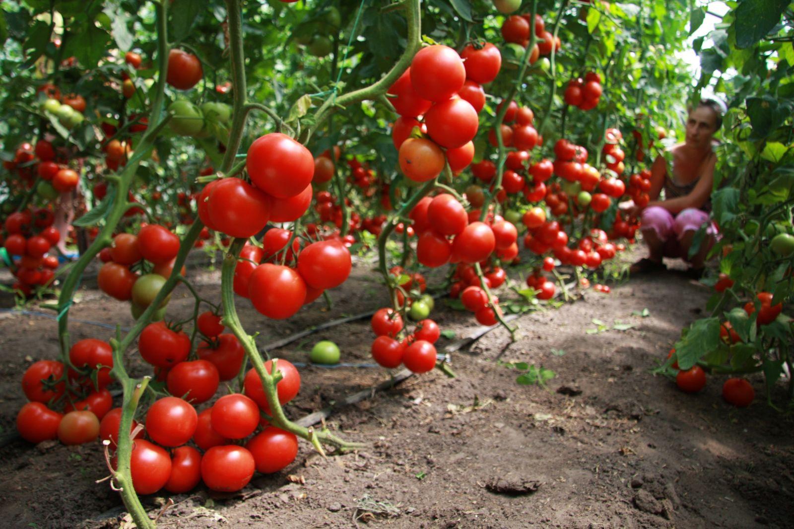 Грозди томатов в теплице