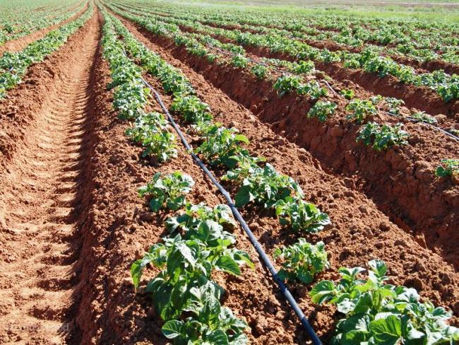 Организация капельного полива картошки