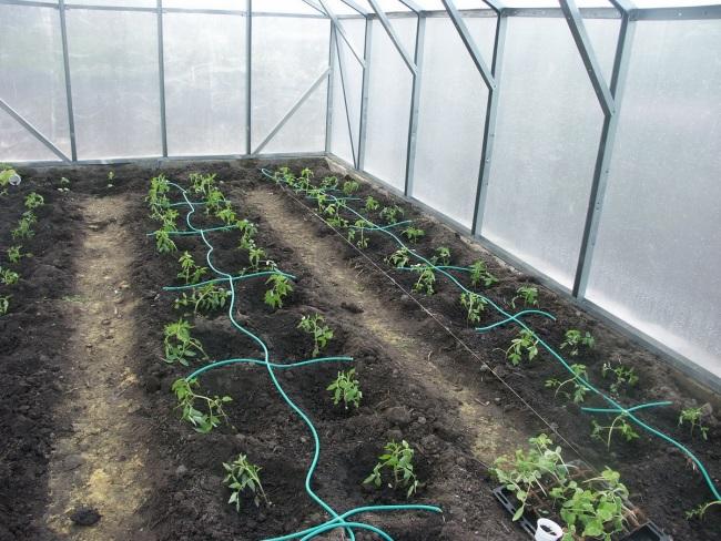 Окученные кусты томатов в теплице