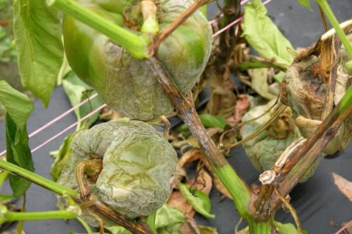 Пораженный фитофторозом перец