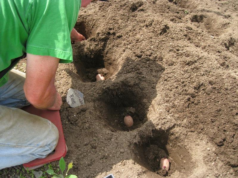 Посадка картофеля в углубления и удаление сорняков