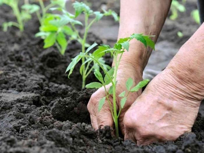 Посадка томатов в почву