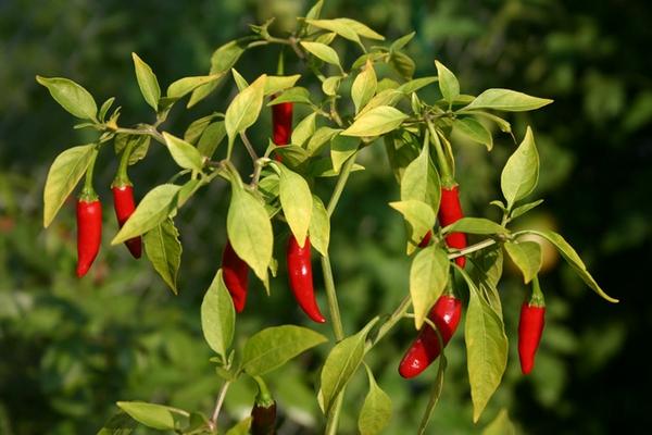 Выращивание горького перца в открытом грунте