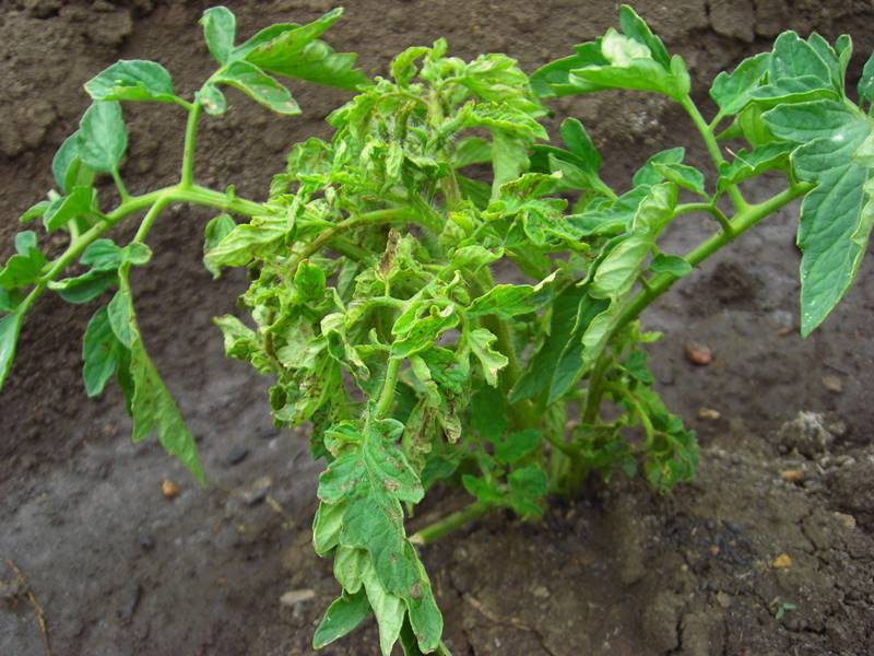 Пожелтение листьев томатов - возможный признак повреждения корня
