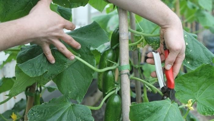Прищипывание огурцов насекомоопыляемого сорта