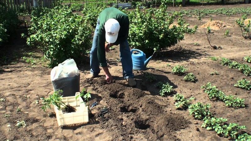 Процесс посадки томатов в мае