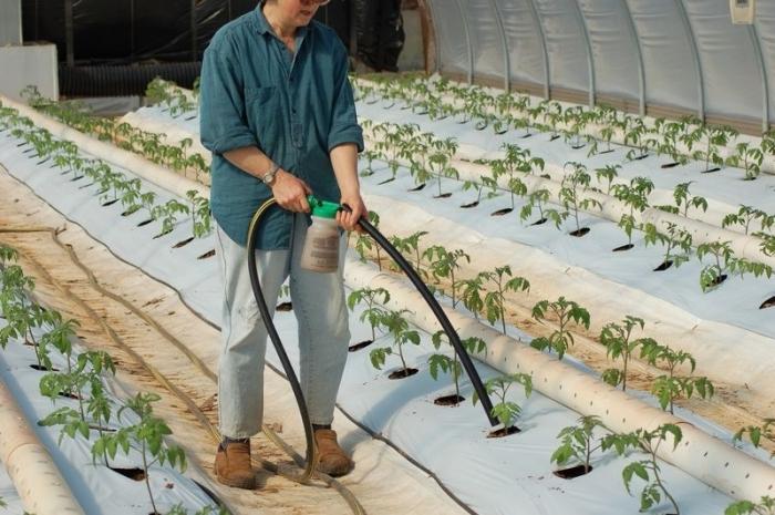 Проведение подкормки помидоров в теплице