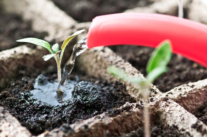 Ручной полив молодой рассады помидоров