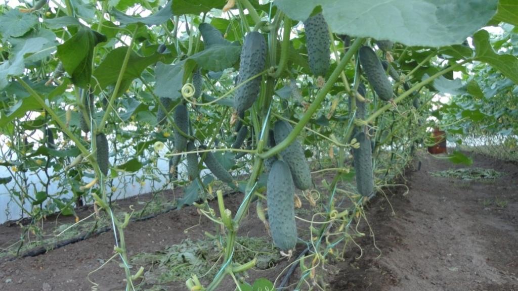 Сформированные огуречные плети в теплице с созревающими плодами