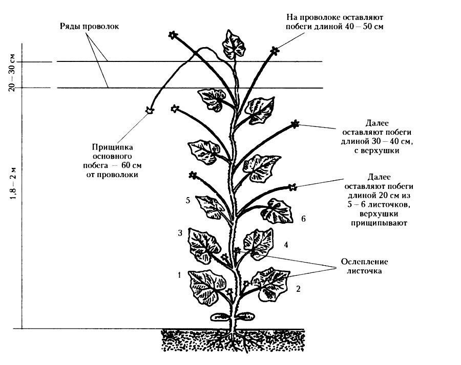 Схема прищипки куста огурца