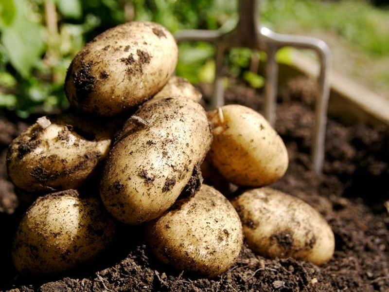 Урожай крупного картофеля