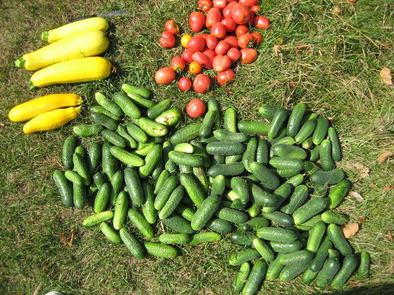 Урожай томатов, кабачков и огурцов