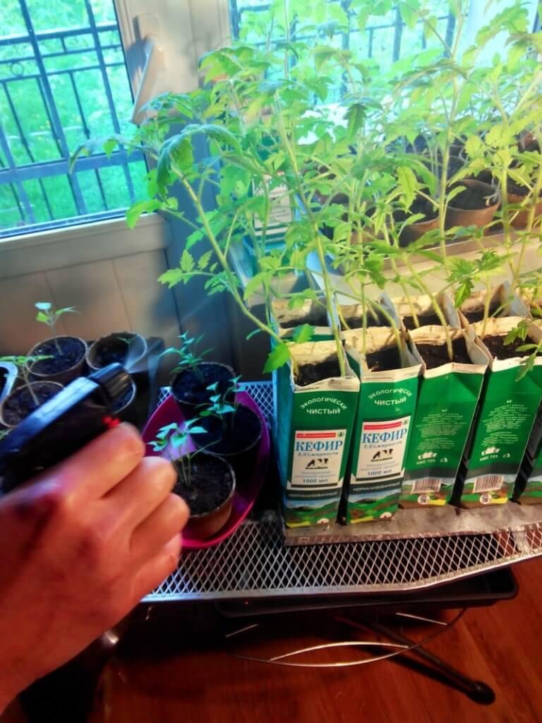 Внекорневая подкормка рассады помидоров