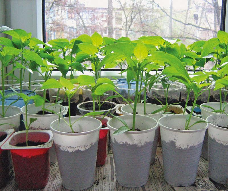 Выращивание горького перца в горшках
