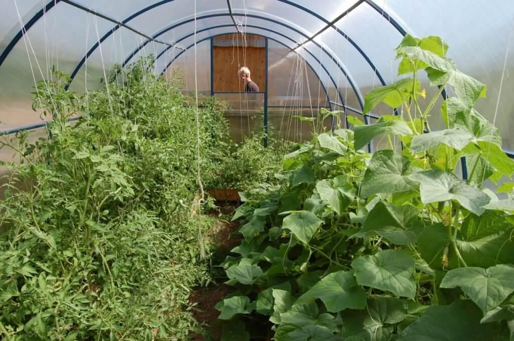 Выращивание огурцов и помидоров в теплице