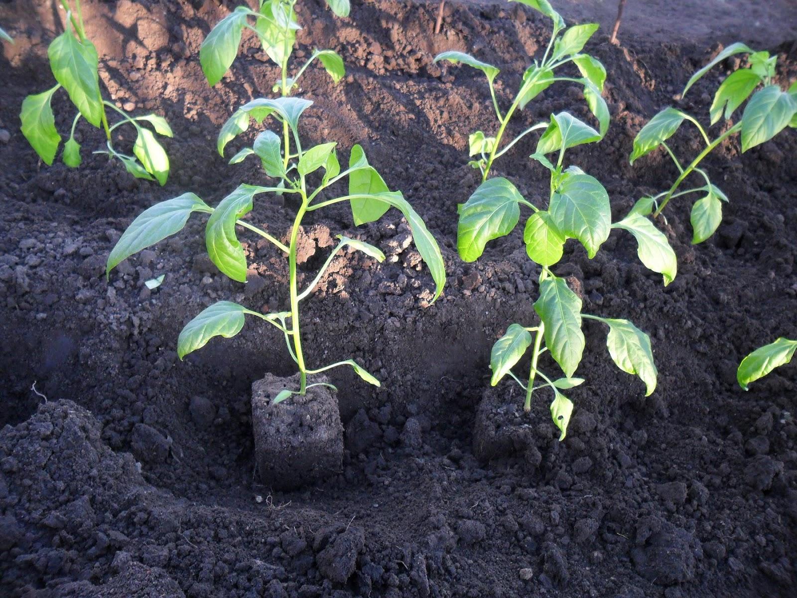 Высадка перцев в подготовленный грунт