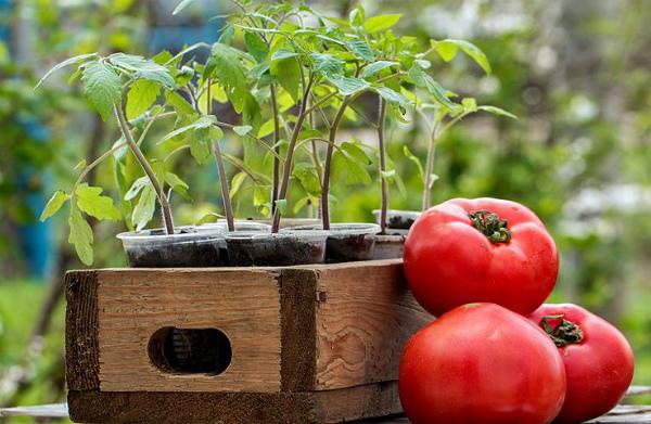Спелые плоды и рассада томата