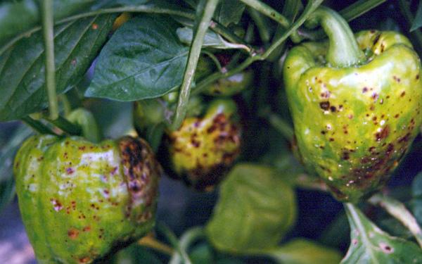 Болезнь пятнистое увядание перцев