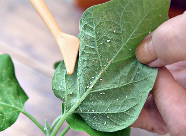 Удаление белокрылки с листа болгарского перца
