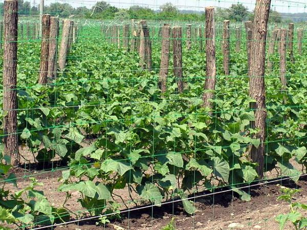 Методика выращивания огурцов на шпалере