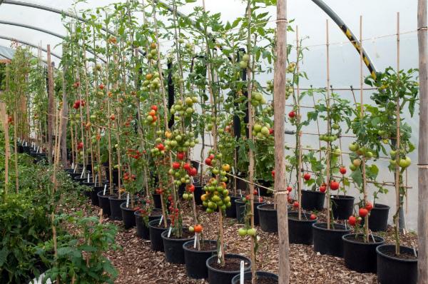 Формирование индетерминантных кустов томата