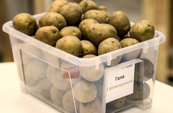 Селекционный сорт картошки Гала