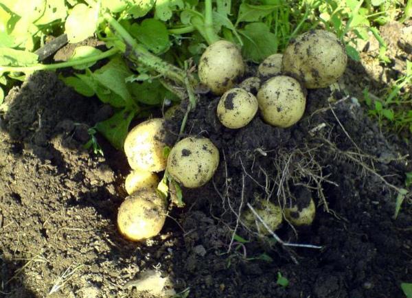 Выкапывание куста картошки сорта Гала