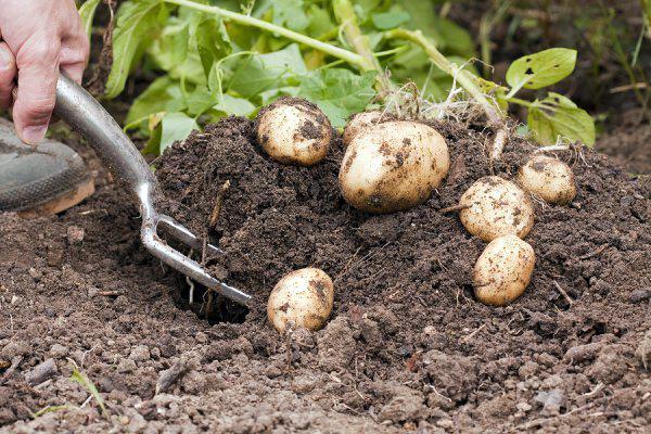 Ручной способ выкапывания картошки при помощи вил